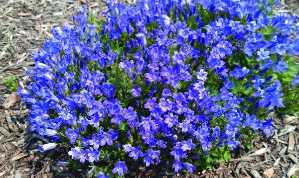 сини цветя