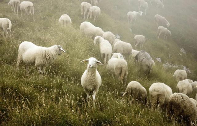 fotografiq ovce treva snimki