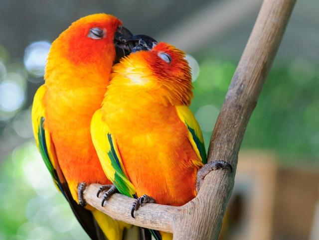 papagali celuvka liubov jivotni