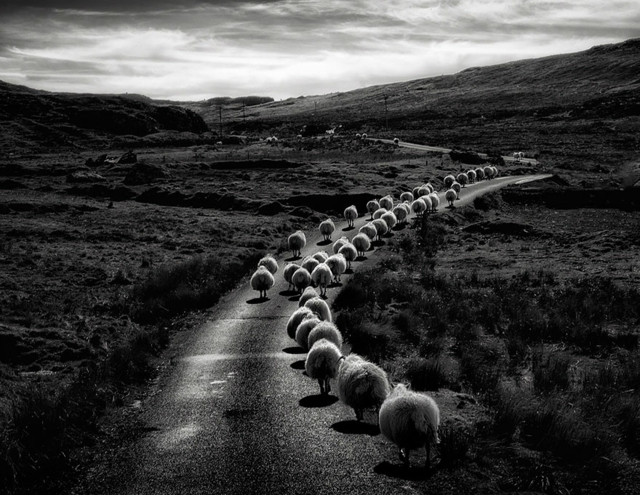 fotografiq pateka ovce snimki