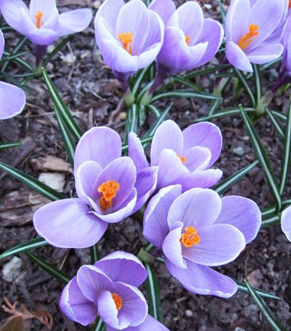 Пролетни цветя в градината