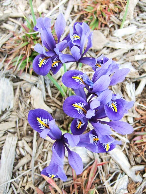 gradina cvetq iris lilav