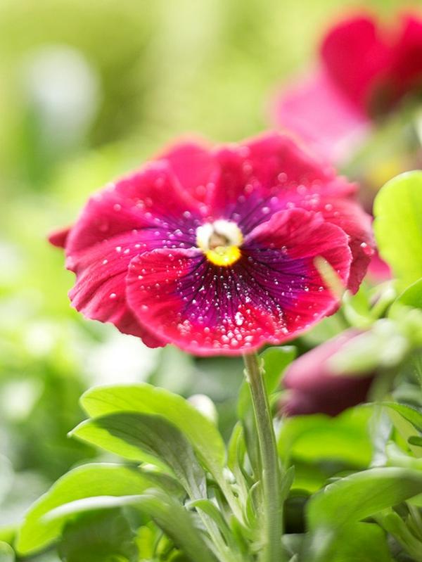 cvetq v gradinata cvetna temenujka