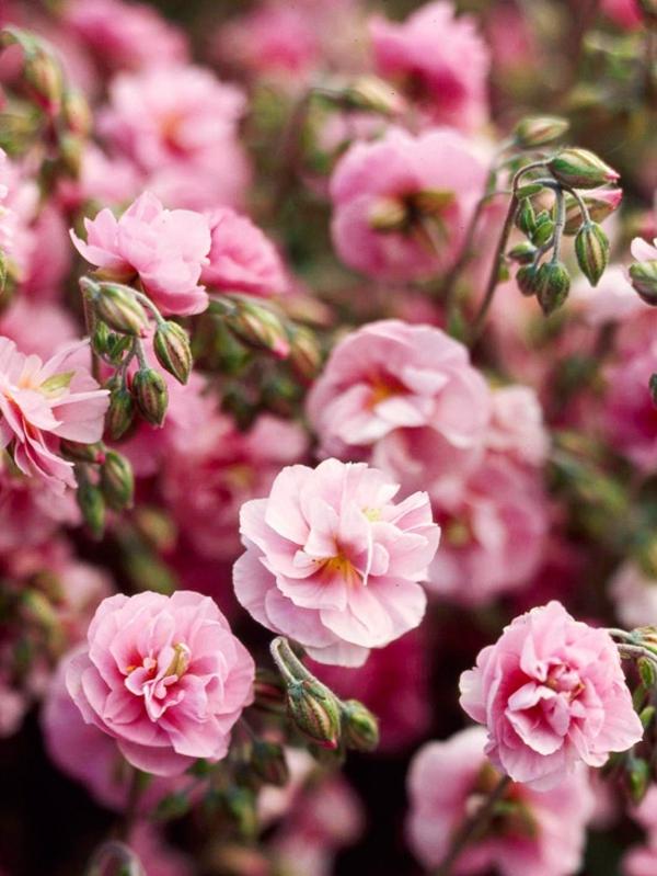 gradina cvetq skalna roza
