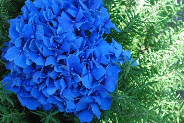 sini cvetq za cvetna gradina hortenziq
