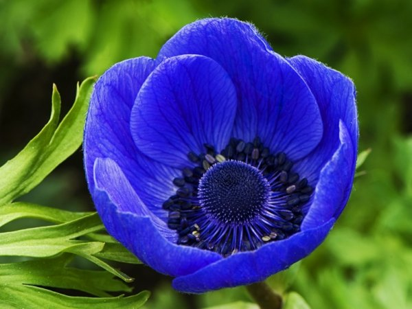 Най-красивите сини цветя за цветна градина