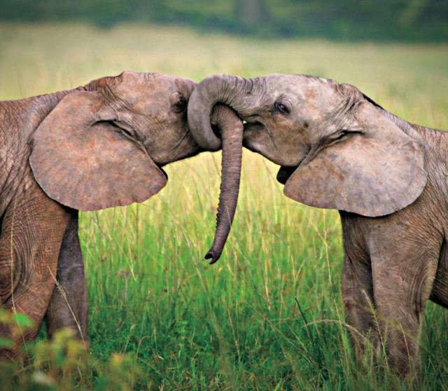 slonove jivotni liubov