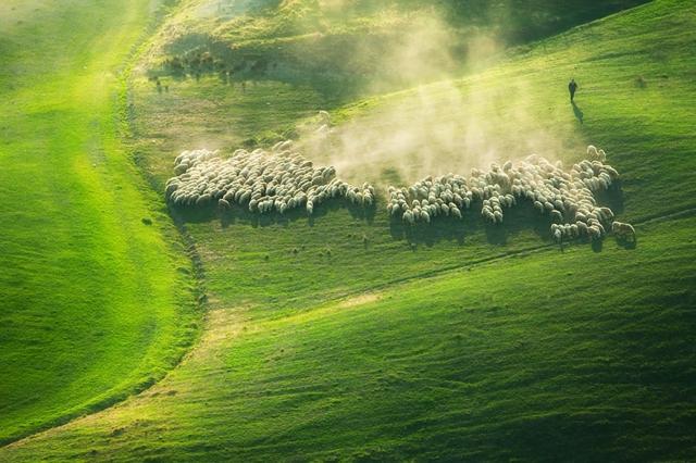 snimki beli ovce stado zelena polqna fotografiq