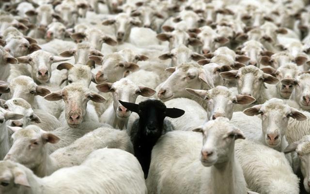 snimki ovce beli fotografiq