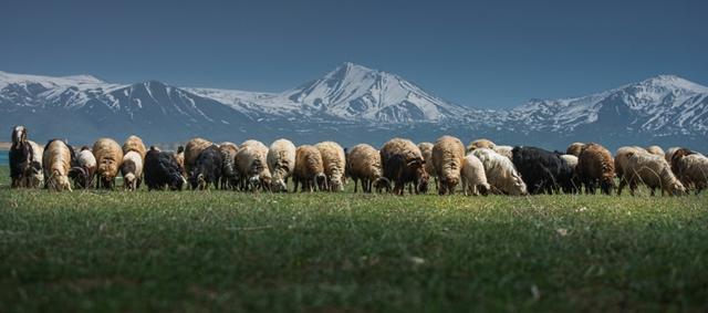snimki ovce planina fotografiq