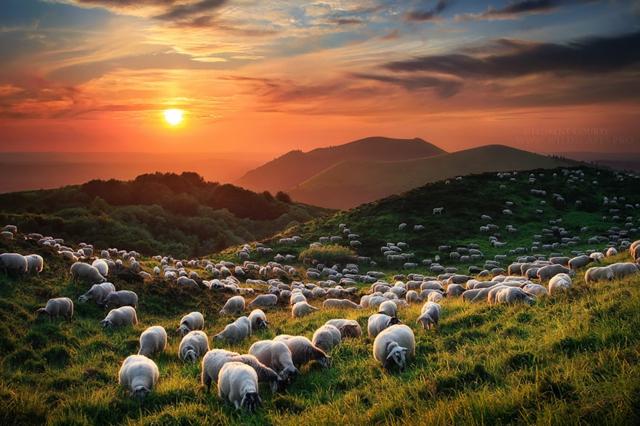 snimki ovce zalez polqna fotografiq