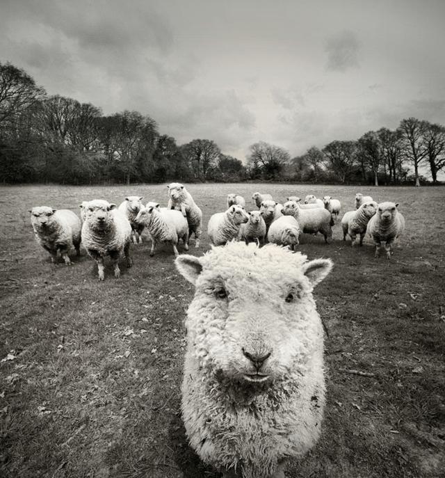 snimki ovce interesna  fotografiq