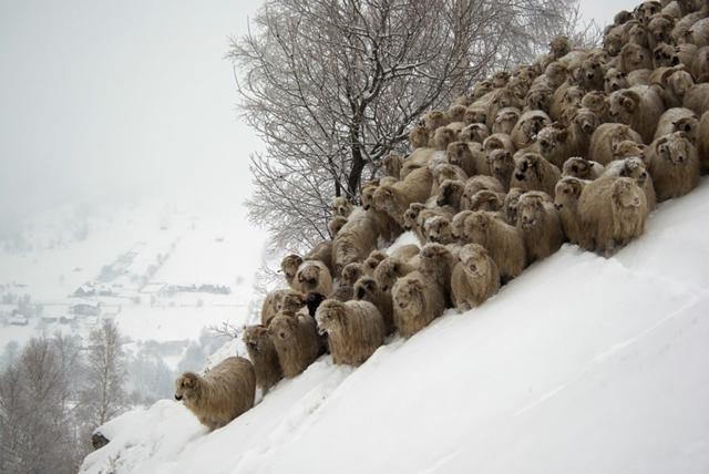 snimki snqg ovce stado fotografiq