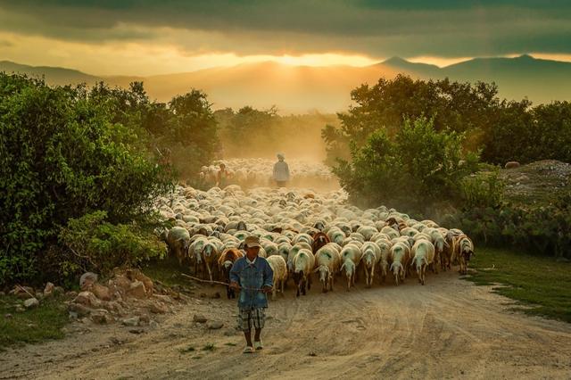 fotografiq stado ovce pateka snimki