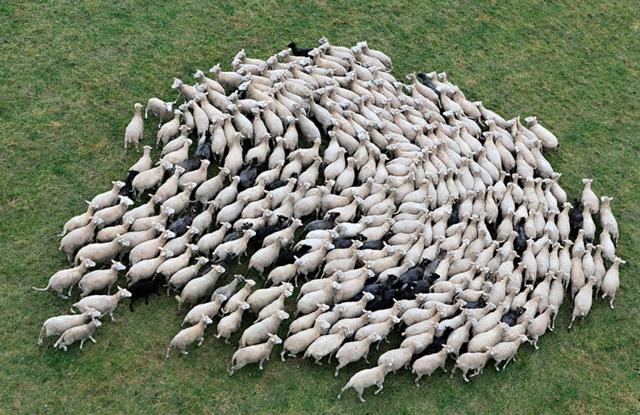 snimki stado ovce sabrani fotografiq