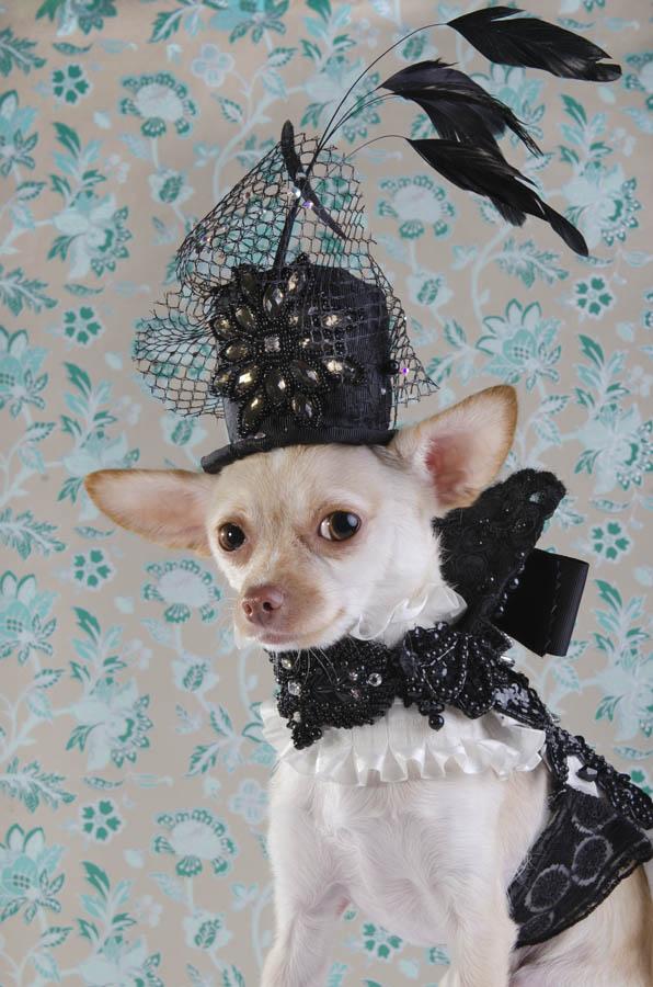 Chihuahua fotografiq