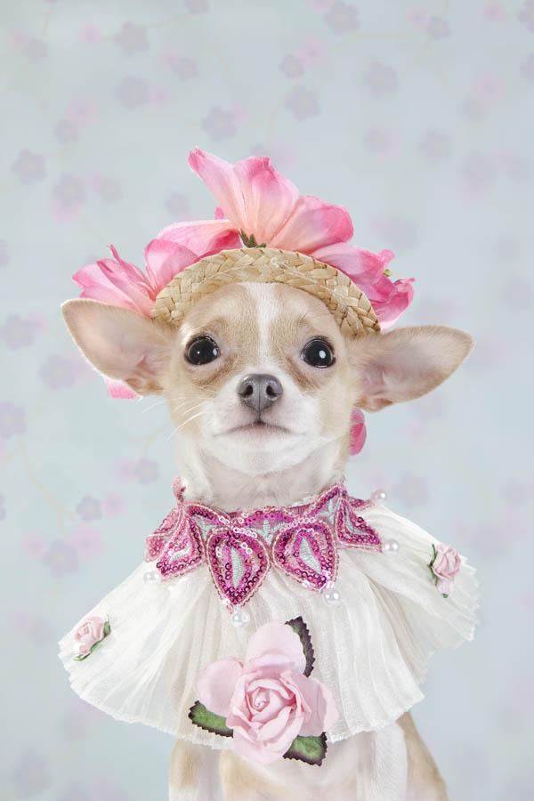 Chihuahua kuche cvetq fotografiq