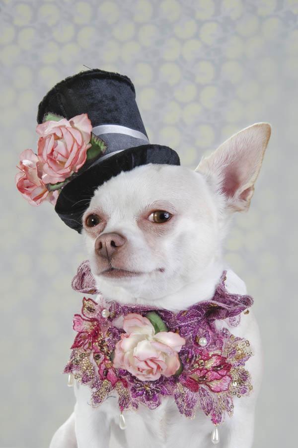 Chihuahua kuche fotografiq cvetq