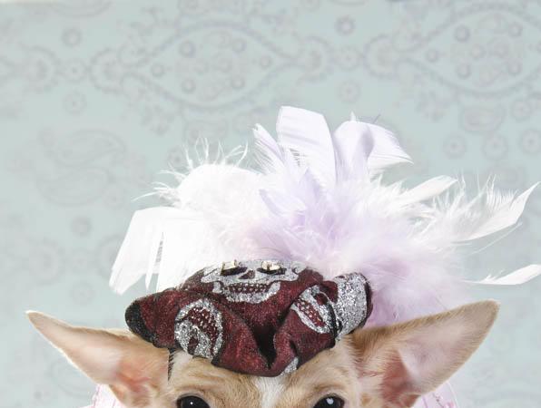 Chihuahua kuche fotografiq drehi