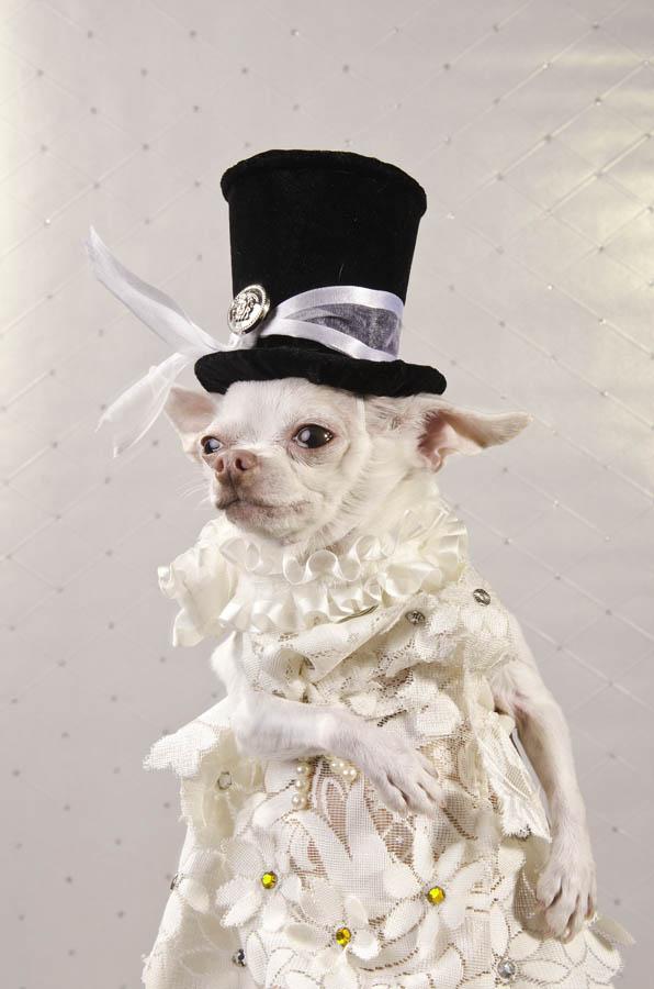 Chihuahua kuche fotografiq
