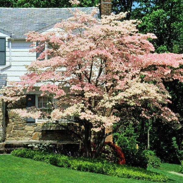 darveta hrasti gradina drqn rozov