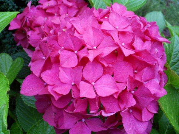 cvetq gradina hortenziq rozova