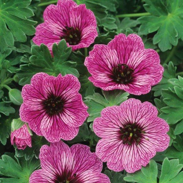 cvetq v gradinata rozov zdravec