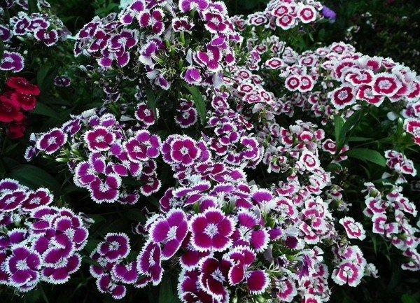 цветя за градина