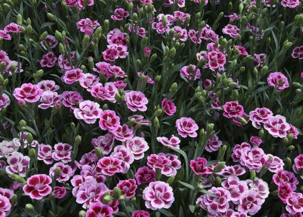 cvetq v gradinata rozov karamfil