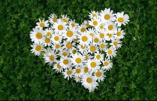 cvetq v gradinata margaritki