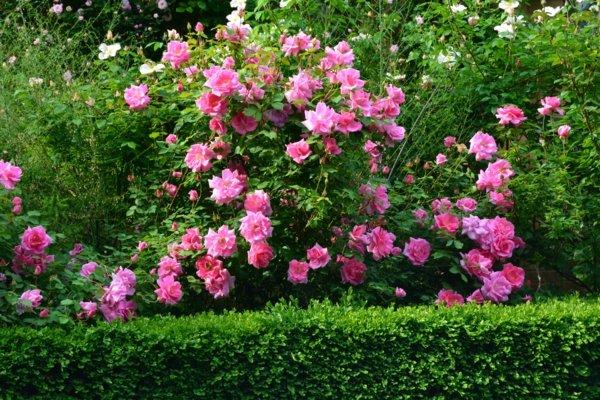 darvo hrast roza gradina