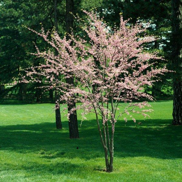 дървета и храсти за градина