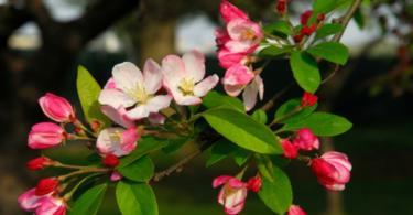 Най-красивите цъфтящи дървета за градина