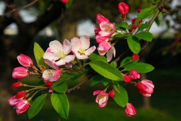 Най-красивите дървета и храсти за градина