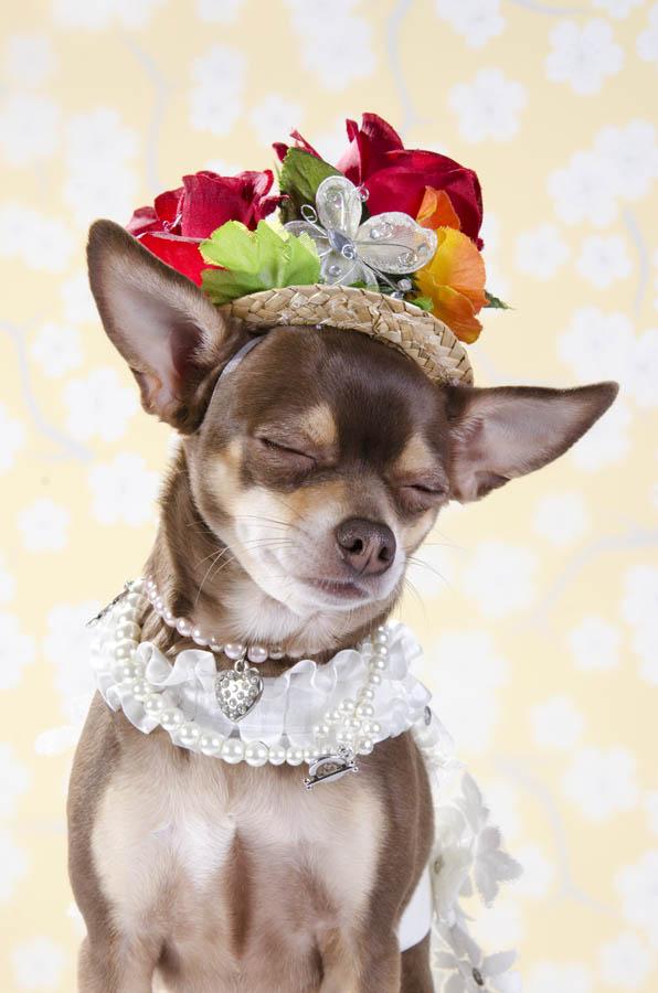 fotografiq Chihuahua kuche shapka