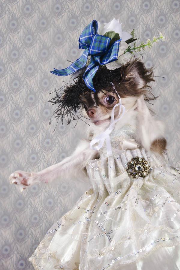 fotografiq Chihuahua roklq