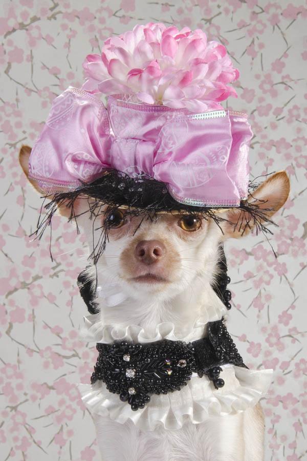 fotografiq Chihuahua