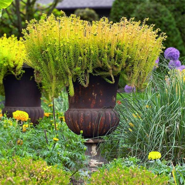 Съвети за градина - висока саксия с игловидно растение