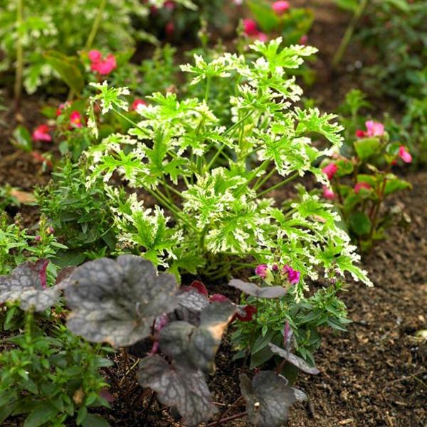 Съвети за градина растения цветя здравец