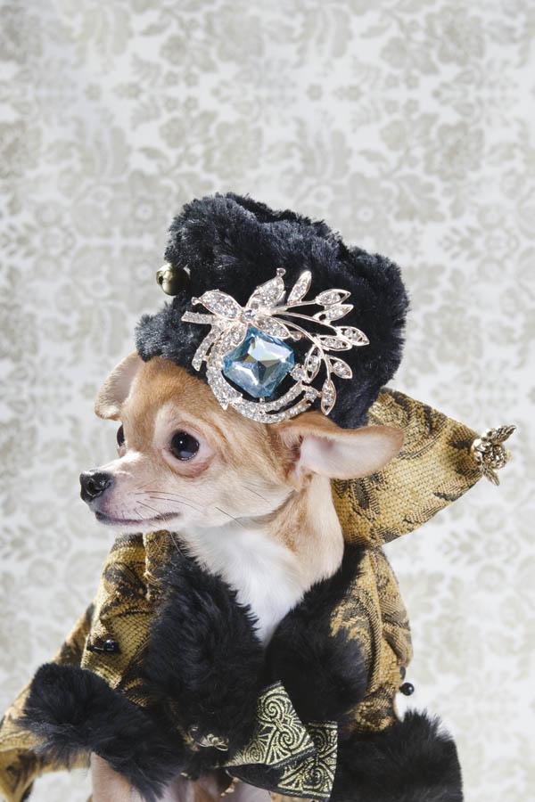 kuche Chihuahua fotografiq drehi