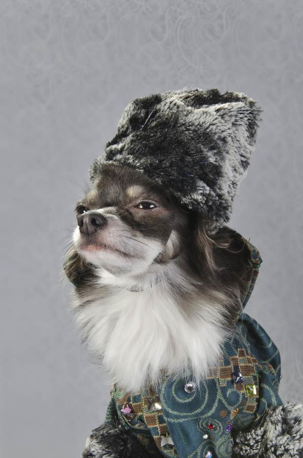 kuche Chihuahua fotografiq