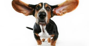 Как да почистим ушите на кучето