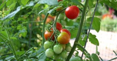 Как да аранжираме нашата зеленчукова градина