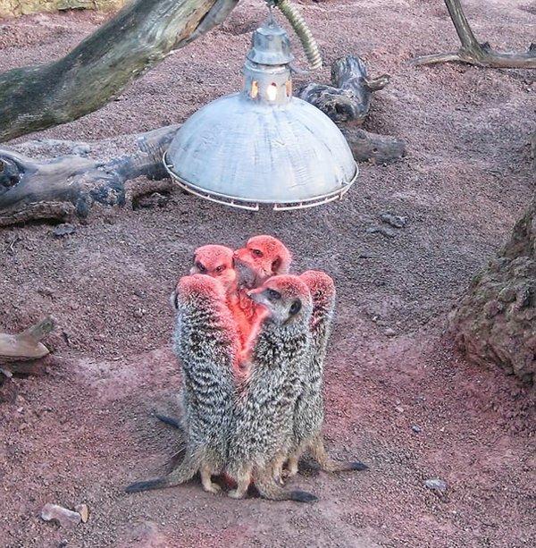 jivotni fotografiq surikati lampa priroda