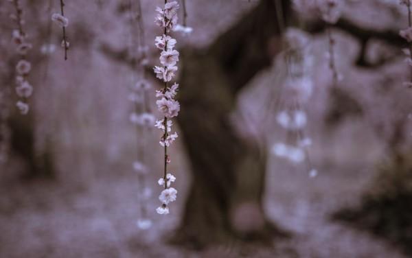 peizajna fotografiq darvo klon cvete