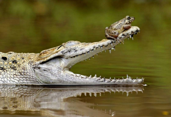 jivotni priqtelstvo snimki krokodil