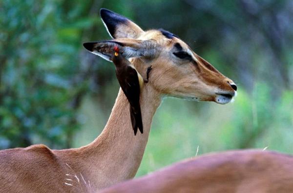 jivotni priqtelstvo fotografiq impala ptica