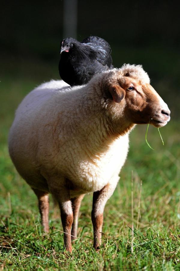 priqtelstvo jivotni fotografiq snimki ovca kokoshka