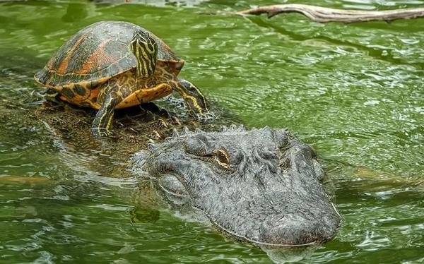 jivotni priqtelstvo fotografiq krokodil kostenurka