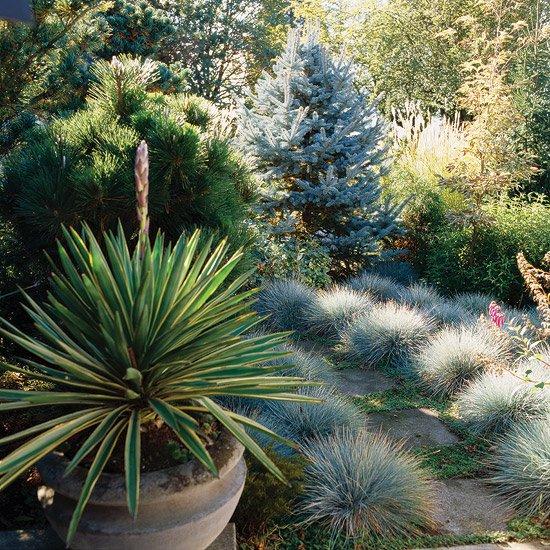 идеи за градината иглолистни растения борче